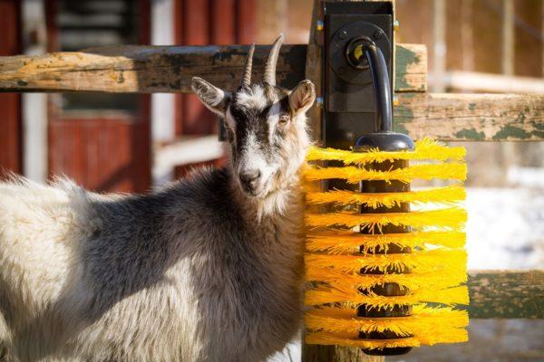 spazzole per capre e ovini