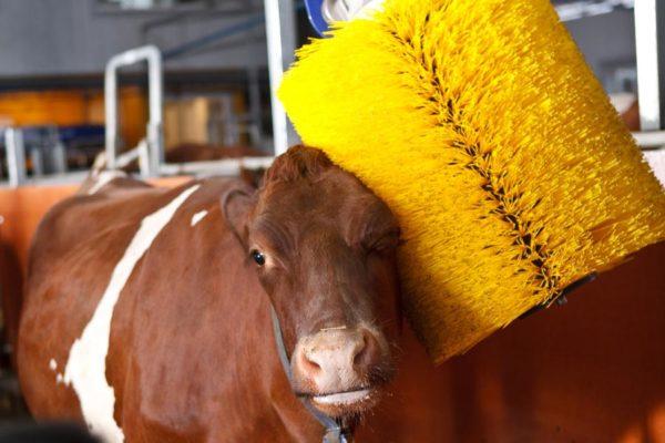 spazzole per mucche e bovini